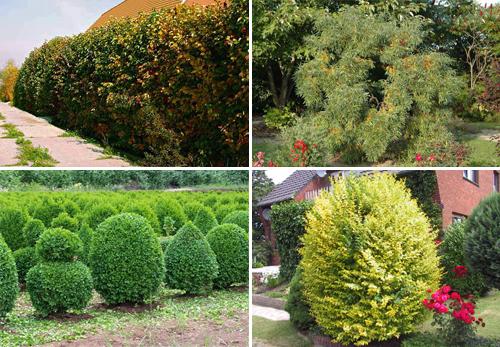 Какие кустарники выбрать для живой изгороди: список с фото